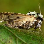 Griposia aprilina - Furfooz ~ Parc naturelle de Furfooz (Namen) 09-10-2021 ©Steve Wullaert