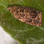 Gypsonoma minutana - Rode populierenbladroller