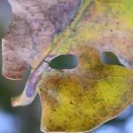 Heliozela sericiella - Eikenzilvervlekmot