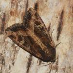 Helotropha leucostigma - Zandvliet ~ Groot Buitenschoor (Antwerpen) 15-08-2021 ©Steve Wullaert