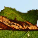 Heliozela resplendella - Wavreille ~ Ry d'Hôwisse (Namen) 23-09-2017 ©Steve Wullaert