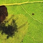 Leucoptera sinuella - Populierensneeuwmot