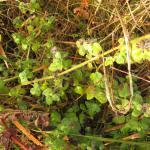 Stephensia brunnichella - Halsbandmineermot