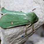 Calamia tridens - Andenne ~ Réserve naturelle de Sclaigneaux (Luik) 14-07-2018 ©Philippe Vanmeerbeeck