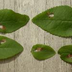 Incurvaria masculella - Gewone witvlekmot