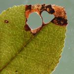 Incurvaria oehlmaniella - Bosbeswitvlekmot