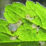 Incurvaria praelatella - Aardbeiwitvlekmot