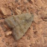 Ipimorpha subtusa - Arendonk ~ t' Goorken (Antwerpen) 11-07-2021 ©Steve Wullaert