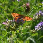 Issoria lathonia - Torgny ~ Luxemburg 14-09-2019 ©Steve Wullaert