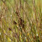 Coleophora maritimella - Zeeruskokermot