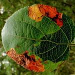 Lyonetia prunifoliella - Sleedoornhangmatmot