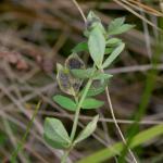 Leucoptera lotella - Rolklaversneeuwmot