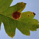 Leucoptera malifoliella - Moeskroen ~ Réserve de la Fontaine bleue - 1000-soortendag (Henegouwen) 28-07-2018 ©Steve Wullaert