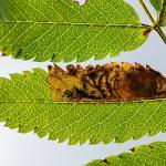 Leucoptera malifoliella - Rocherath ~ Vallée de la Holzwarche (Luik) 08-08-2019 ©Damien Gailly