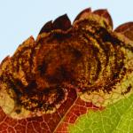 Leucoptera malifoliella - Wavreille ~ Ry d'Hôwisse (Namen) 23-09-2017 ©Steve Wullaert