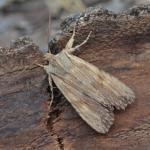 Lithophane socia - Furfooz ~ Parc Naturelle de Furfooz (Namen) 07-04-2018 ©Steve Wullaert