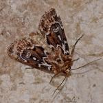 Lycophotia porphyrea - Koersel ~ De Vallei van de Zwarte Beek (Limburg) 29-07-2017 ©Steve Wullaert