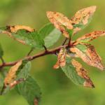 Lyonetia prunifoliella - Wavreille ~ Ry d'Hôwisse (Namen) 23-09-2017 ©Wim Declercq