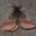 Lythria cruentaria - Neerpelt ~ Het Hageven (Limburg) 30-03-2019 ©Steve Wullaert