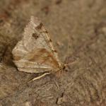 Macaria signaria - Arlon ~ Domaine Privé - Luxemburg 03-06-2018 ©Steve Wullaert