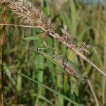 Mantis religiosa (Euopese bidsprinkhaan) - Ruette ~ Luxemburg 14-09-2019 ©Steve Wullaert