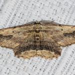 Menophra abruptaria - Lamorteau ~ Au Petit Chenoi (Luxemburg) 01-08-2020 ©Damien Gailly