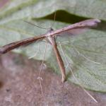 Stenoptilia zophodactylus - Duizendguldenkruidvedermot