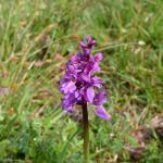 Orchis mascula (mannetjesorchis) - Furfooz ~ Parc naturelle de Furfooz (Namen) 04-05-2019 ©Steve Wullaert