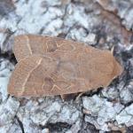 Orthosia cerasi - Furfooz ~ Parc Naturelle de Furfooz (Namen) 07-04-2018 ©Steve Wullaert