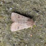 Orthosia cruda - Oignies ~ Bois d'Oignies (natuurpark Viroin - Hermeton) - (Namen) 31-03-2018 ©Steve Wullaert