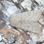 Orthosia gracilis - Furfooz ~ Parc Naturelle de Furfooz (Namen) 07-04-2018 ©Steve Wullaert