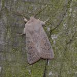 Orthosia gracilis - Neerpelt ~ Het Hageven (Limburg) 30-03-2019 ©Steve Wullaert