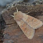 Orthosia miniosa - Furfooz ~ Parc Naturelle de Furfooz (Namen) 07-04-2018 ©Steve Wullaert
