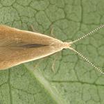 Coleophora milvipennis - Spatelberkkokermot