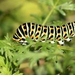 Papilio machaon - Furfooz ~ Parc naturelle de Furfooz (Namen) 09-10-2021 ©Damien Gailly
