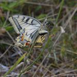Papilio machaon - Nismes ~ Tienne Breumont (Namen) 21-07-2018 ©Steve Wullaert