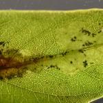 Parectopa robiniella - Acasiamineermot