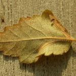 Phyllonorycter anderidae - Berkenopslagvouwmot