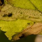 Phyllonorycter issikii - Lindevouwmot