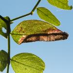 Phyllonorycter nigrescentella - Furfooz ~ Parc naturelle de Furfooz (Namen) 09-10-2021 ©Damien Gailly