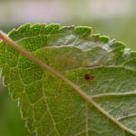 Phyllonorycter spinicolella - Sleedoornvouwmot