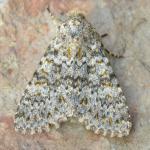 Polymixis flavicincta - Aywaille ~ Heid des Gattes (Luik) 18-09-2021 ©Steve Wullaert