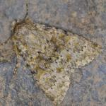 Polymixis flavicincta - Marche-en-Famenne ~ Propriété privé (Namen) - 20-09-2020 ©Steve Wullaert