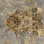 Polymixis lichenea - Koksijde ~ Doornpanne (West-Vlaanderen) 05-10-2019 ©Steve Wullaert