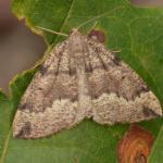 Puengeleria capreolaria - Genk ~ De Maten (Limburg) 26-09-2021 ©Steve Wullaert