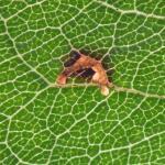 Recurvaria nanella - Fruitpalpmot