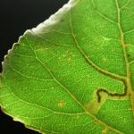 Stigmella trimaculella - Populierenmineermot