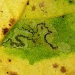 Stigmella trimaculella Populierenmineermot
