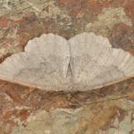 Gnophos furvata - Dinant ~ Devant-Bouvignes (Namen) 01-08-2021 ©Steve Wullaert