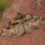 Catarhoe rubidata - Dinant ~ Devant-Bouvignes (Namen) 01-08-2021 ©Steve Wullaert